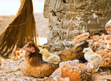 De close-up van de kip en van kuikens Royalty-vrije Stock Foto's