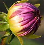 De Close-up van de Knop van de dahlia Stock Afbeelding