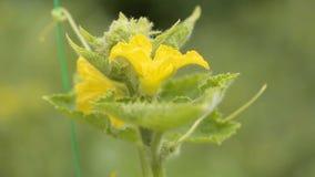 De close-up van de komkommerbloem in de tuin stock footage