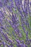 De Close-up van de lavendel Stock Afbeelding