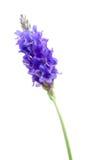 De close-up van de lavendel Royalty-vrije Stock Afbeeldingen