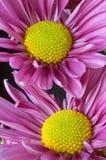 De Close-up van de Madeliefjes van Lavendar Stock Afbeelding