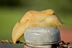 De close-up van de naaktslak stock foto