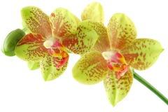 De close-up van de orchidee Stock Fotografie