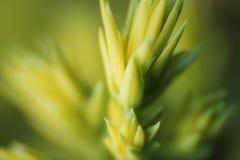 De close-up van de pijnboomboom Royalty-vrije Stock Afbeeldingen