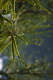 De close-up van de pijnboomboom Stock Afbeelding