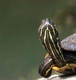 De close-up van de schildpad Stock Afbeeldingen