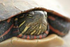 De Close-up van de schildpad Stock Foto