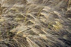 De close-up van de tarwe Stock Foto's