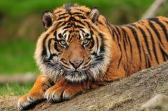De close-up van de tijger Stock Foto