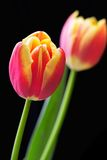 De close-up van de tulp royalty-vrije stock afbeelding