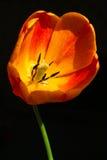 De close-up van de tulp Royalty-vrije Stock Afbeeldingen