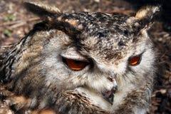 Owl Closeup Stock Afbeelding