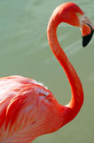 De Close-up van de Vogel van de flamingo stock afbeeldingen