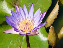 De close-up van de waterlelie Stock Fotografie