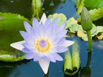 De close-up van de waterlelie Stock Foto