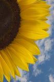 De close-up van de zonnebloem Stock Foto