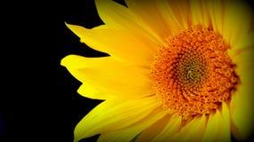 De close-up van de zonnebloem Stock Afbeeldingen