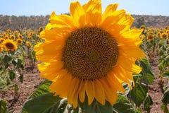De close-up van de zonnebloem op het gebied Royalty-vrije Stock Foto's