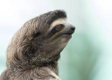 De close-up van a drie-Toed Luiaard - Panama Royalty-vrije Stock Foto