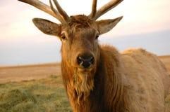 De Close-up van elanden stock foto