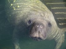 De Close-up van Florida Manatee Royalty-vrije Stock Afbeeldingen