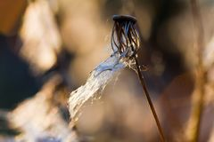 De close-up van de de herfstdistel Stock Afbeeldingen