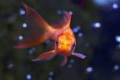 De close-up van het Aquarium van de goudvis op donkere achtergrond Stock Afbeeldingen