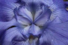 De close-up van het centrum van een lavendel kleurde gebaarde iris royalty-vrije stock foto