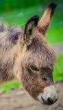 De close-up van het ezelsgezicht Stock Foto's