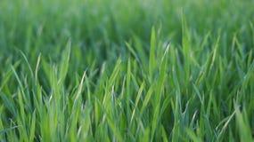 De close-up van het gras Stock Fotografie