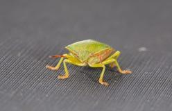 De close-up van het insect Royalty-vrije Stock Afbeelding