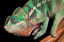 De close-up van het kameleon Stock Foto