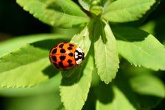 De close-up van het lieveheersbeestje Stock Foto's