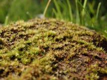 De close-up van het mos Stock Foto's