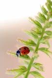 De close-up van het onzelieveheersbeestje Stock Fotografie