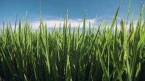 De close-up van het padieveldgebied stock video