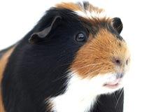 De close-up van het proefkonijn Stock Afbeelding