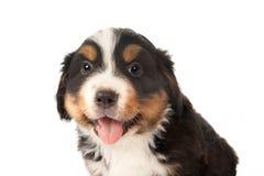 De close-up van het puppy Stock Afbeelding