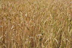 De close-up van het tarwegebied Het oogsten in landbouw Stock Foto's