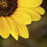 De Close-up van het zonnebloemkwart Stock Afbeelding