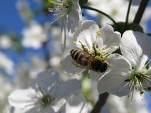 De close-up van de kersenbloesem op blauwe hemel op de lentedag stock afbeelding