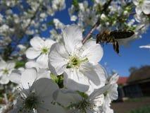 De close-up van de kersenbloesem op blauwe hemel op de lentedag stock foto