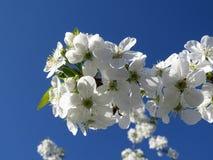 De close-up van de kersenbloesem op blauwe hemel op de lentedag royalty-vrije stock fotografie