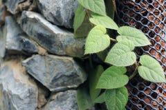 De close-up van de de klimplantinstallatie van de tuinregeling stock afbeelding