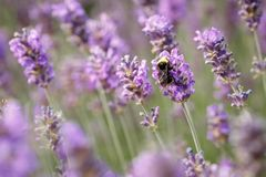 De close-up van de lavendelbloem op purper lavendelgebied stock foto's