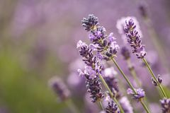 De close-up van de lavendelbloem op purper lavendelgebied stock afbeeldingen