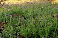 De close-up van lavendelstruiken op dichte omhooggaand van het zonsonderganggebied Het bloeien zonnen Stock Foto's