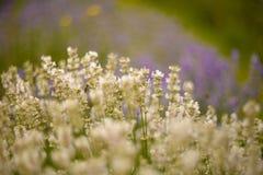 De close-up van lavendelstruiken op zonsondergang Royalty-vrije Stock Afbeeldingen