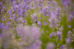 De close-up van lavendelstruiken op zonsondergang Stock Foto